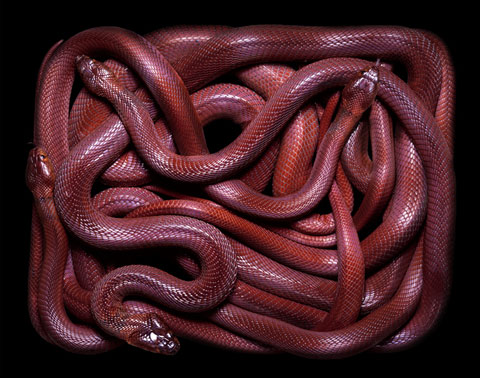 Breathtaking snakes photographed by Guido Mocafico | 480 x 378 jpeg 59kB
