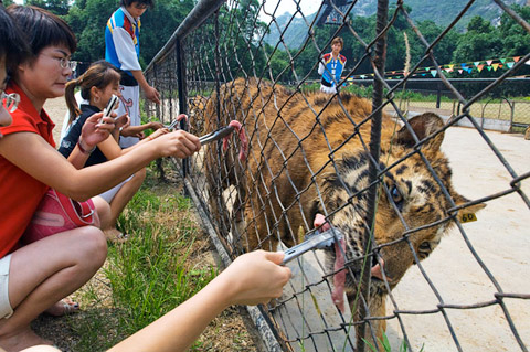 GUILIN, CHINA. The Xiongsen Bear and Tiger Park, with over 400 bears and 1300 tigers in captivity, has animals perform in daily circus-style shows, where some tourists are given the opportunity to feed young tigers fresh meat.   The park, with its attached distillery, is lobbying for easing of regulations on China's 13 yr old tiger trade ban, especially with regards to tiger bone wine.