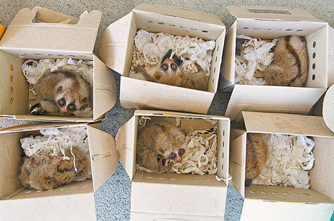 BANGKOK, THAILAND. Slow lorises confiscated in a Thai Police raid of a Chatuchak Market pet shop.