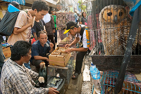 JAKARTA, INDONESIA. Jatinegara Bird and Pet Market, where primates, owls, hornbills,raptors, snakes, leopard cats and other CITES listed creatures are sold openly in the middle of urban Jakarta.