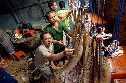 SUMATERA, INDONESIA. At a reptile skinning operation, workers daily take hundreds of blood pythons and salvator monitors brought to them by local collectors, kill them with a blow to the head, fill the carcasses with water and air, skin them and dry the skins for sale to the leather goods industry.