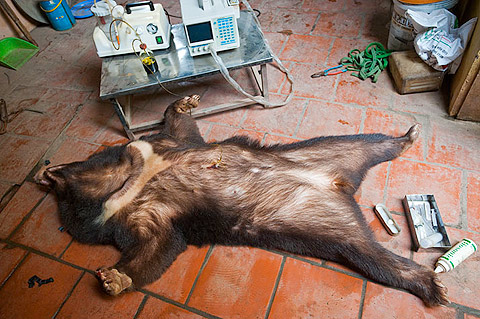 HANOI, VIETNAM. A captive Asiatic black bear is pumped for bile in a farm outside urban Hanoi.