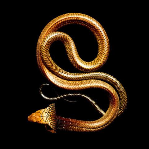 King-Cobra Mark Laita