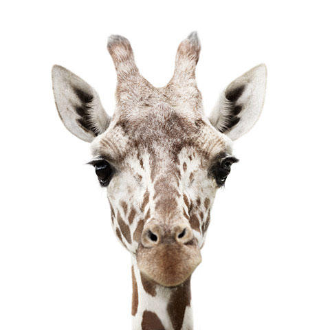Giraffe Morten-Koldby photography
