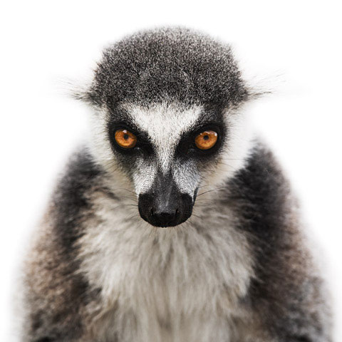 Lemur Morten-Koldby photography