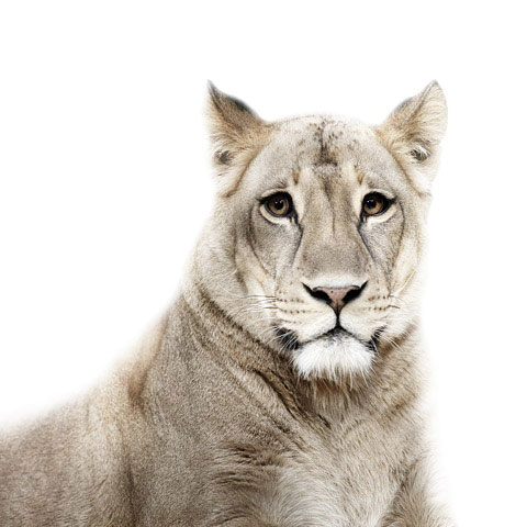 Lion Morten-Koldby photography