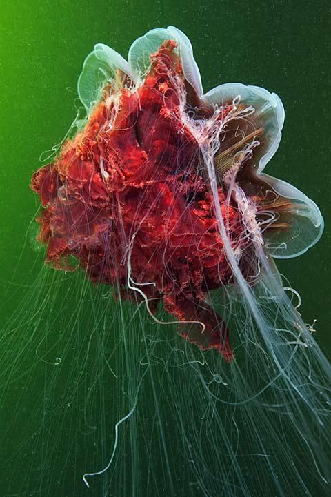 Jellyfish photos Alexander Semenov