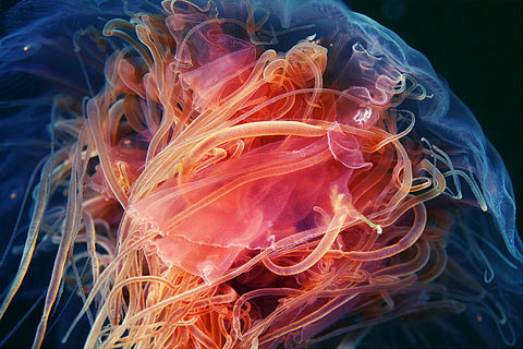 Jellyfish photos Alexander Semenov