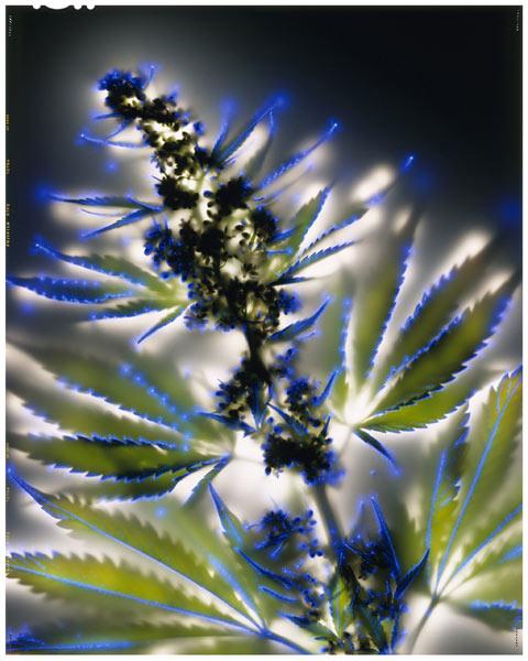Cannabis-sativa photography