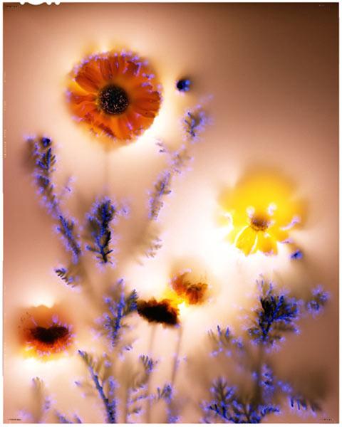 Chrysanthemum-coronarium photography