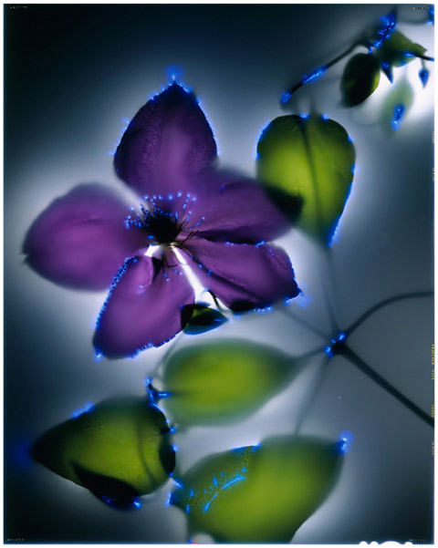 Purple Clematis photography