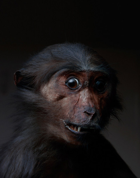 taxidermy monkeys primates Perttu-Saksa photography
