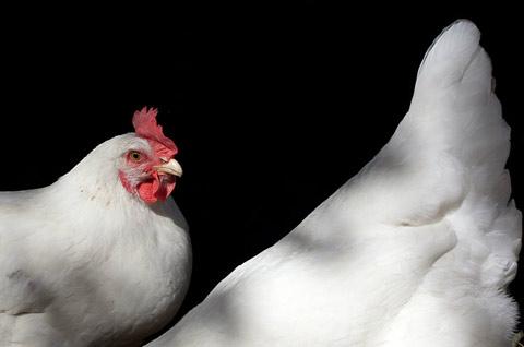 chickens aliza eliazarov photography