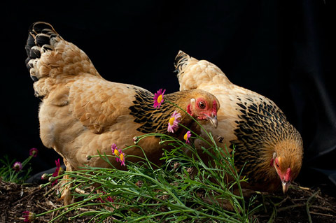 chickens aliza eliazarov photography