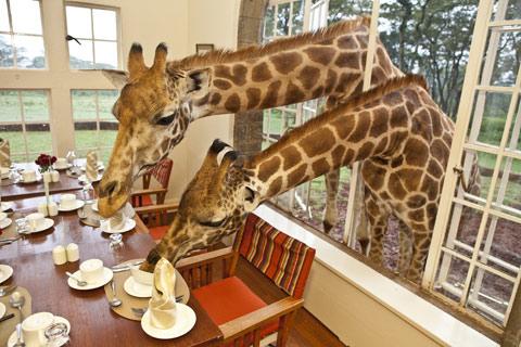 Giraffe-Manor Kenya Robin Moore photography