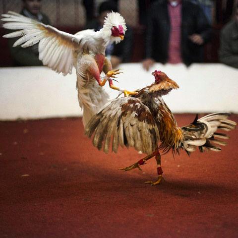 cockfighting Fernando-Decillis