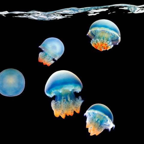 Jellyfish Mark Laita