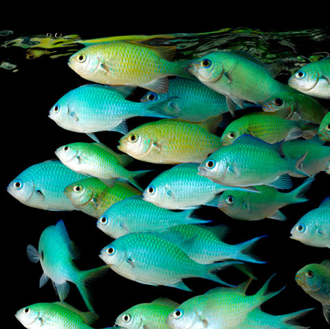 green-chromis Mark Laita