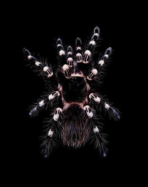 Aphonopelma-seemanni tarantula Guido Mocafico