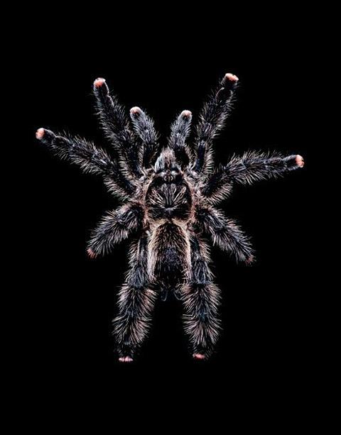 Avicularia-aurantiaca tarantula Guido Mocafico