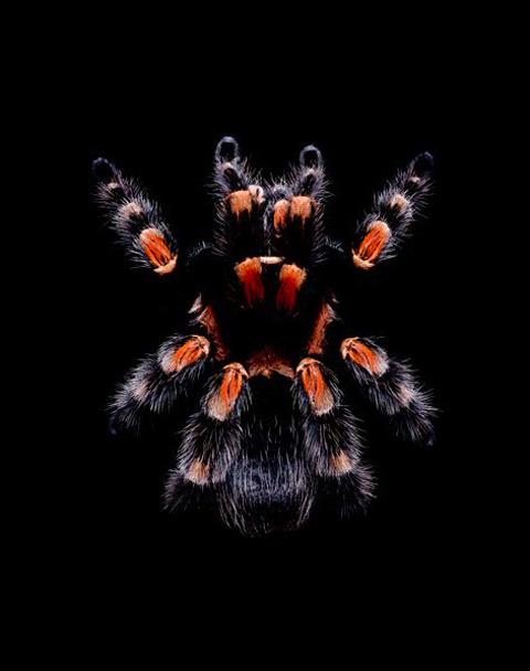 Brachypelma-smithi tarantula guido mocafico