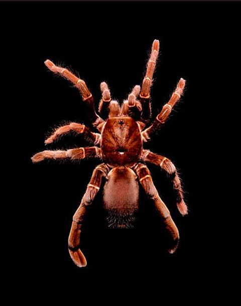 Citharischius-crawshayi tarantula guido mocafico
