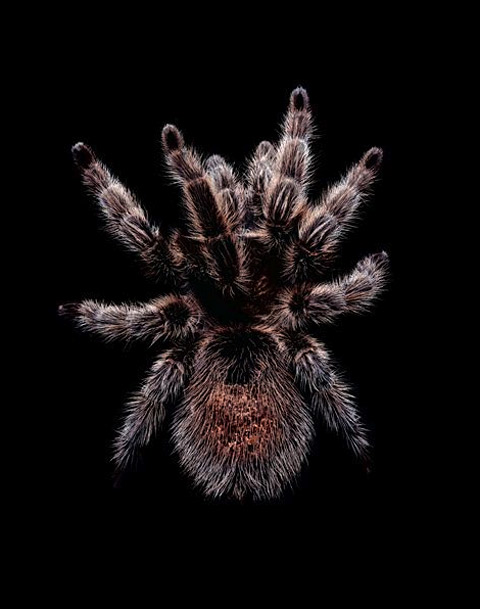 Grammostola-rosea tarantula guido mocafico