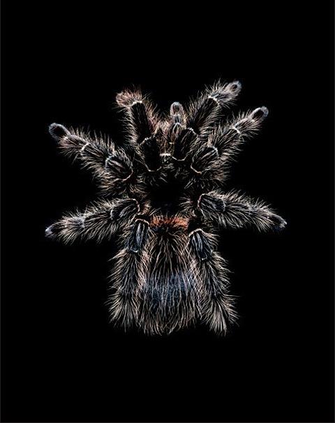 Lasiodora-paraphybana guido mocafico tarantula