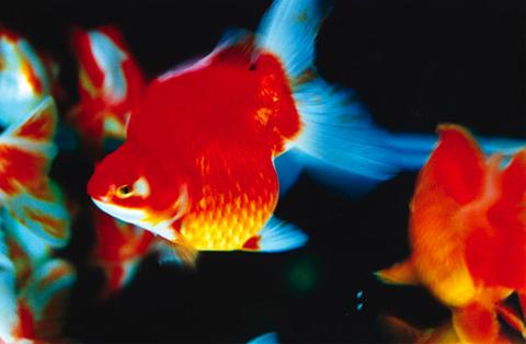 mika-ninagawa goldfish
