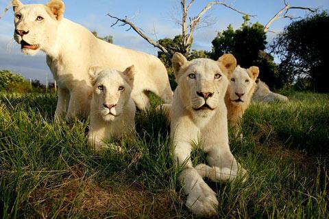 white lions karine-aigner