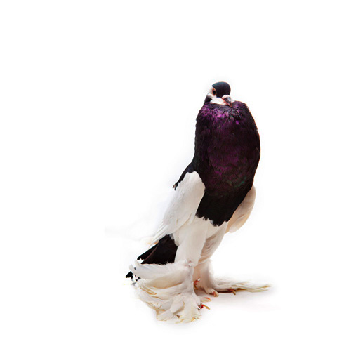 fancy pigeon egypt David-Degner3