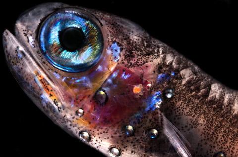 Joan-Costa zooplankton photography