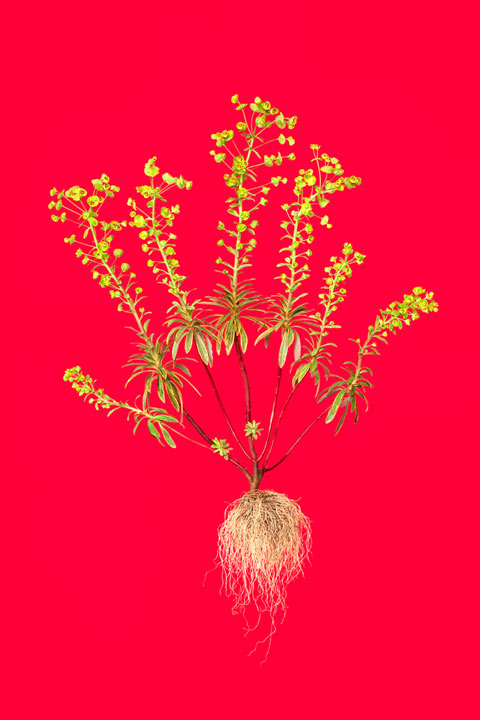 botanicals William-Rugen
