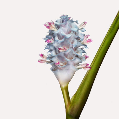 Calathea-burle-marxii-'Ice