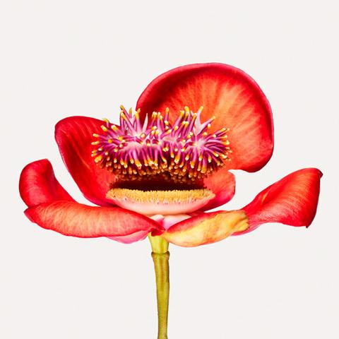 Couroupita-guianensis
