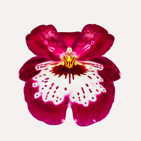 Miltoniopsis-hybrid