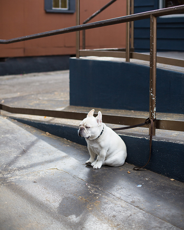 French Bulldog Waiting