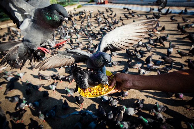 Feeding the Pigeons in Myanmar