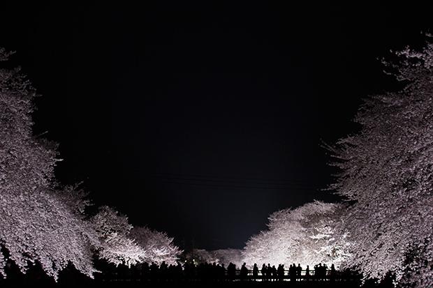 Enchanting Nogawa Cherry Blossoms Illuminated at Night