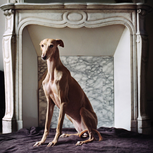 Saved: Elegant Portraits of Rescued Greyhounds