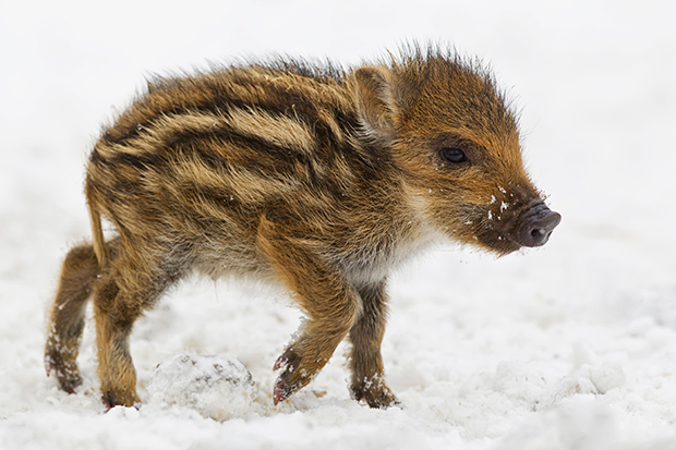 Baby Wild Boar In The Snow