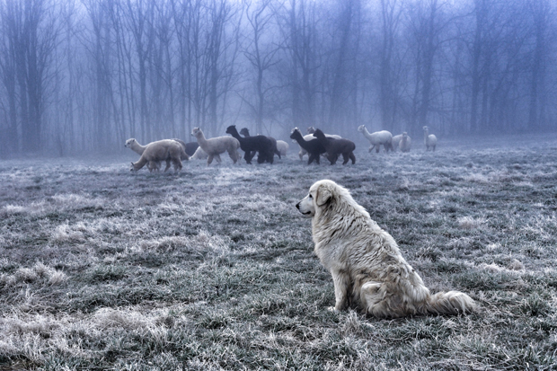 Rosa and Alpacas FogFeatureShoot