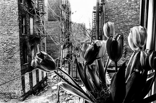 Tulips and Backyard