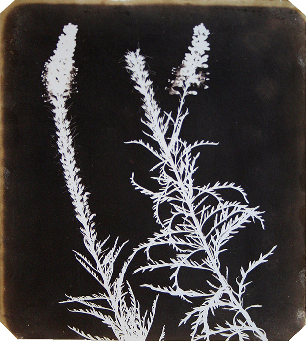 William-Henry-Fox-Talbot,-Veronica-in-Bloom,-Photogenic-Drawings,-22.98-x-18.7cms,-1840.-Courtesy-James-Hyman-Photography,-London