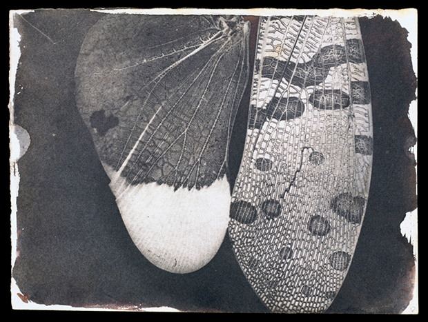 AInsect-wings,-c.1840.-William-Henry-Fox-Talbot--National-Media-Museum--SSPL