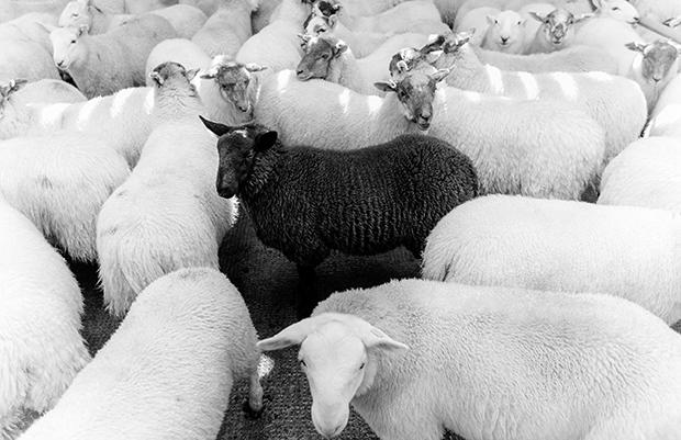 Sheep---Lewis-&-Harris-Auction-Mart