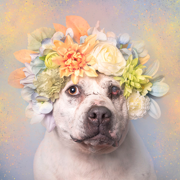 Homeless Pit Bulls Get a Chance to Shine in Floral Photo Series