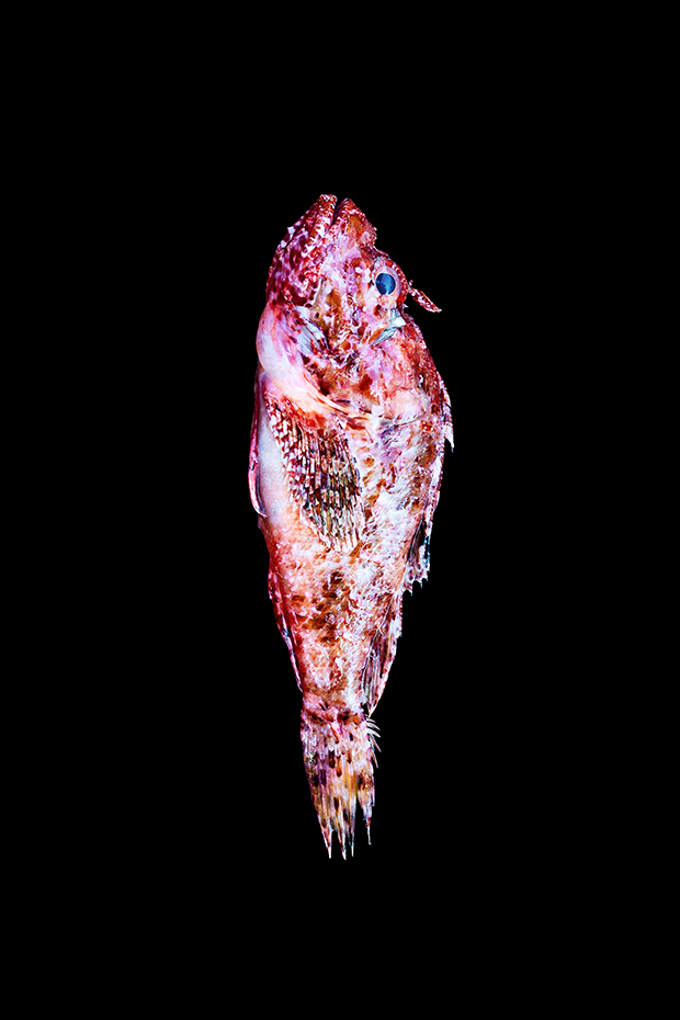 Skorpina(Scorpion_Fish)