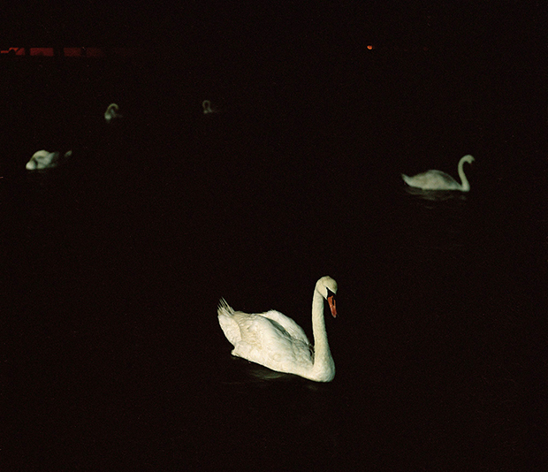 Atlantic swans