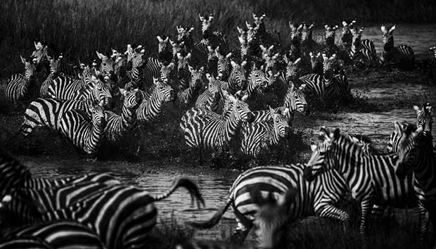 3927-Zebras crossing the river, Tanzania 2015 © Laurent Baheux